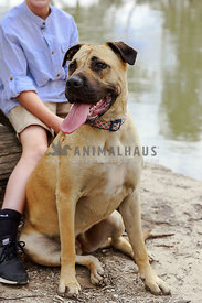 Bull Mastiff dog sitting crooked at edge of water. Part of boy in background. Face not shown.