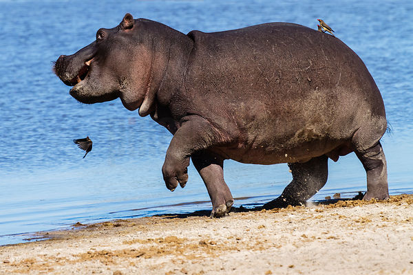 Hippo Being Aggravated by Oxpeckers