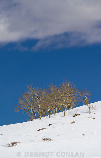 Stand of trees in snow