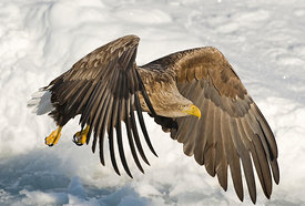 White-tailed Eagle (Sea Eagle) Haliaeetus albicilla adult Nemuro Channel Hokkaido Japan (Note: This is identical to sea eagle...