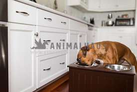 boxer dog eating from feeder in white kitchen
