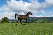 Throughbred racehorse running in a paddock, North Yorkshire, UK.