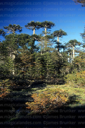 Monkey Puzzle (Araucaria araucana) and southern beech or Nothofagus forest in autumn, Huerquehue National Park, Region IX, Chile