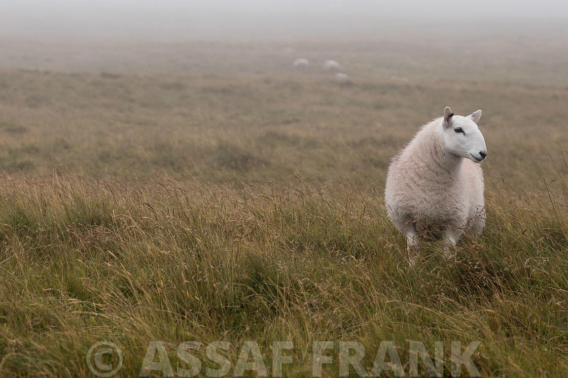 A Sheep standing on grass in mist