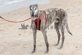 Brindle colored Greyhound standing on a beach, red leash and harness.