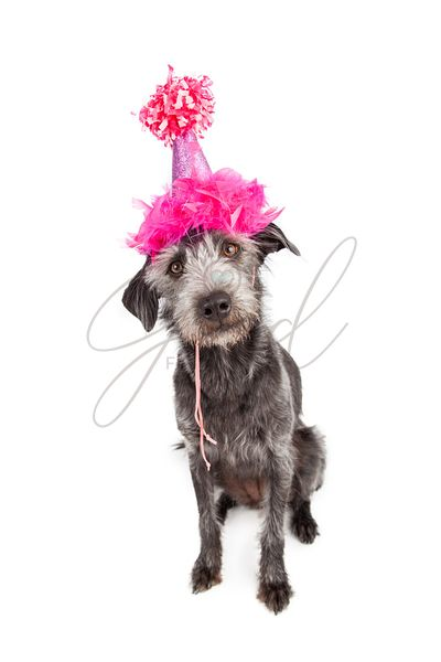 Dog Wearing Pink Party Hat