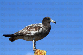 Juvenile / 1st winter Band tailed or Belchers gull (Larus belcheri)