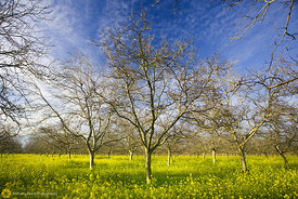 Walnut Orchard with Mustard #5