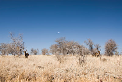 Two waterbuck, one moon