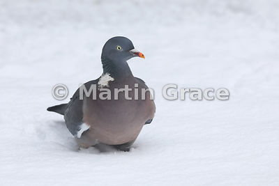 Adult Common Wood Pigeon (Columba palumbus) in snow, Badenoch & Strathspey, Scottish Highlands