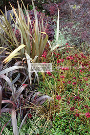 Association : Cosmos atrosanguineus 'Chocamocha' (cosmos chocolat), Carex comans 'Bronze Perfection', Phormium tenax (Lin de ...