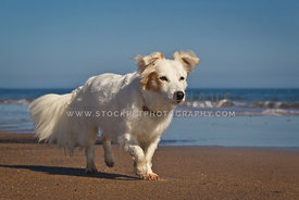 white dog running along sandy beach with sea in background