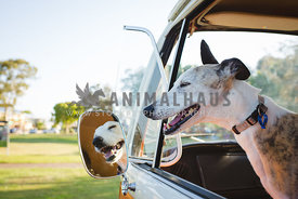 Italian Greyhound with head out window of vintage campervan bus