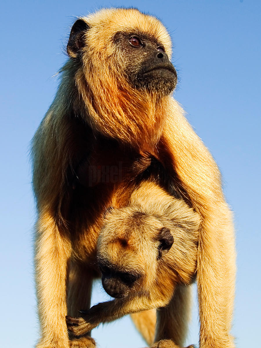 Howler Monkey Female & Young, Transpantaneira Highway, Pantanal, Mato Grosso, Brazil