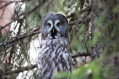 Male Great grey owl