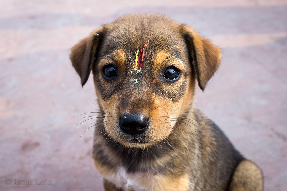 Beautiful puppy with tilaka in Haridwar, India