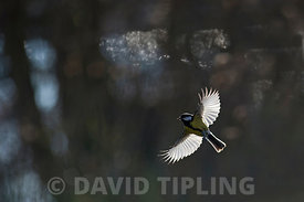 Great Tit Parus major in flight in woodland Norfolk
