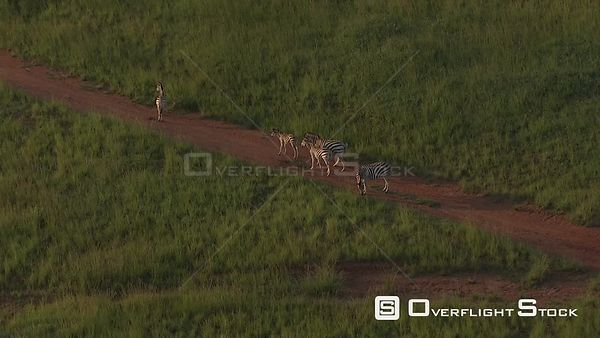 Aerial shot of a group of zebra's walking along a dirt road Nelspruit Mpumalanga South Africa