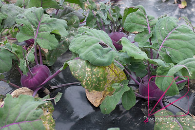 Purple kohlrabi, ready for crop