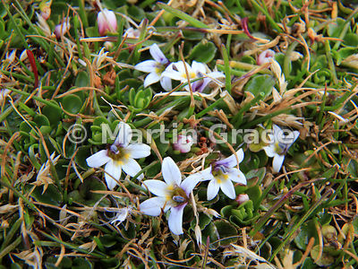 Berry-Lobelia (aka Creeping Pratia) (Lobelia pratiana, formerly Pratia repens, sometimes also called Lobelia repens), Saunder...