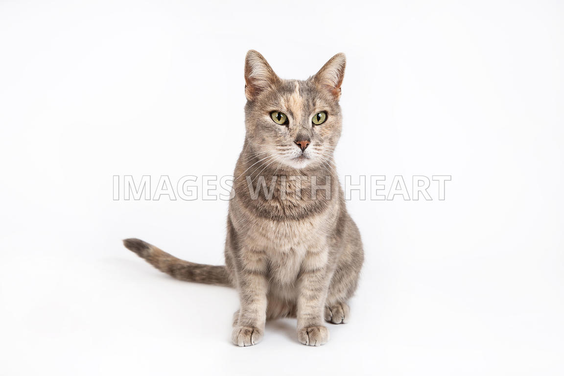 Full Body Cat Sitting on White Background