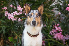 Collie sits with pink flowers