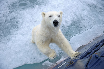 Polar bear (Ursus maritimus) standing up against tourist ship, Svalbard, Norway, June 2009