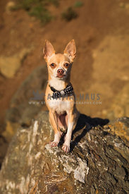 Chihuahua sits on large rock wearing bowtie