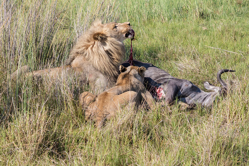 Male and Female Lion at Wildebeest Kill