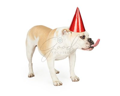 Funny Looking Birthday Bulldog Sticking Out Its Tongue