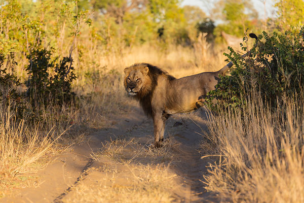 Male Lion Scent Marking Territory