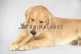 golden retriever lying down and sniffing a dog bone between his front paws