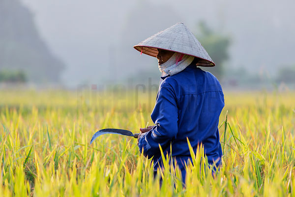 Portrait of a Rice Worker with a Sickle