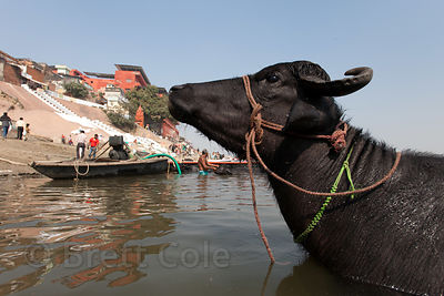 Water buffalo in the Ganges River, Varanasi, India.