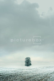 An atmospheric image of a lone tree in the middle of a hoar frosted field in winter.
