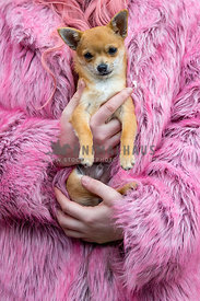 lady in pink fur coat holding her chihuahua puppy