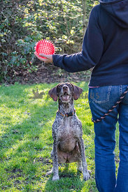 A German Shorthaired Pointer waits for her owner to throw the ball