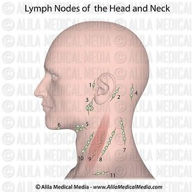Lymph nodes of the head and neck unlabeled.