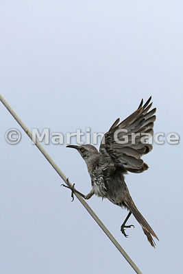 Image 1 of an extraordinary sequence of 6 images of a Hood Mockingbird (Nesomimus macdonaldi) running up the steep support wi...