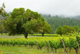 Vineyards and Oaks, Anderson Valley #1