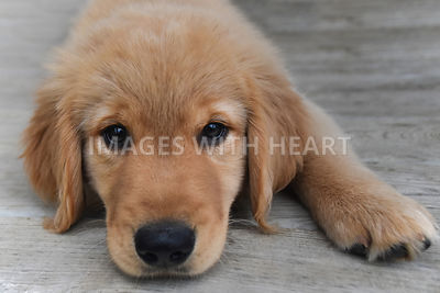 Golden Retriever Lying Down on Deck