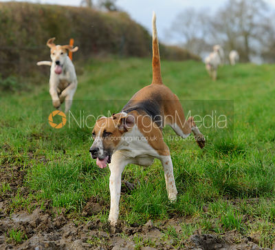 Quorn Foxhounds