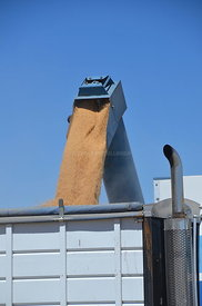 Grain pouring out of the bankout auger