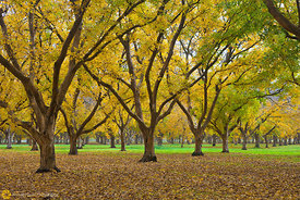 Walnut Orchards in Fall #11