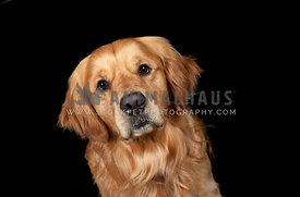 low key head shot of golden retriever