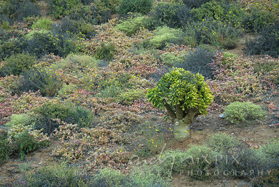 Botterboom tree (Tylecodon paniculatus) growing in amongst other hardy desert succulents.