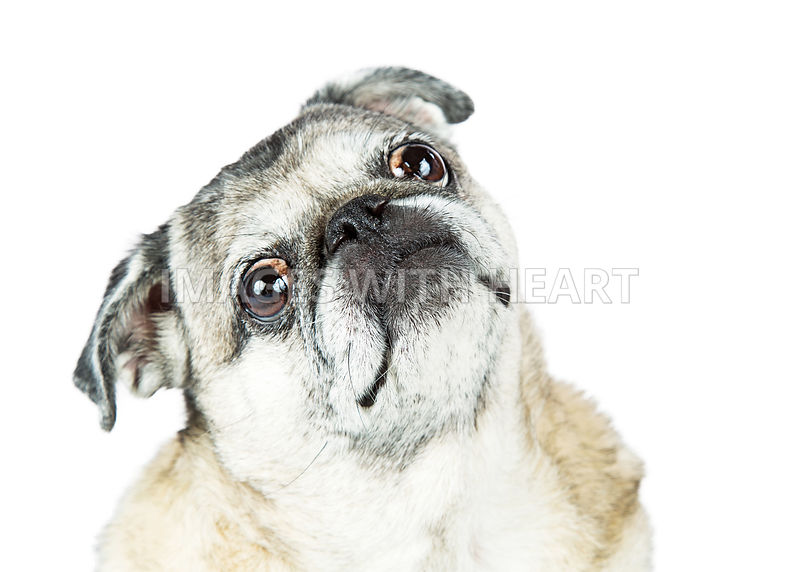 Closeup Pug Dog With Sweet Expression