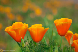 California Poppies #4