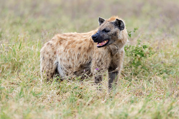 Portrait of a Spotted Hyaena