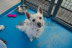 A scruffy white dog sits in his kennel at the animal rescue, waiting to be adopted